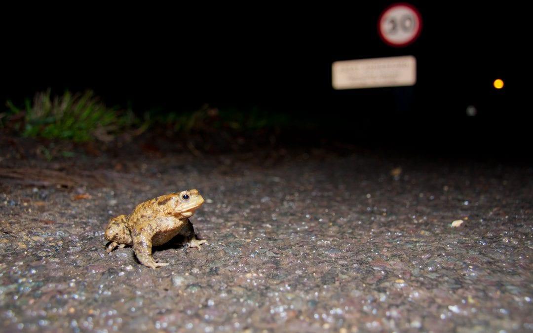 Toad Patrol – Volunteering opportunity